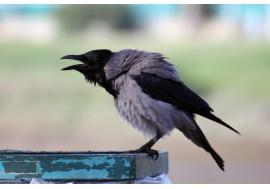 Ворона в профиль