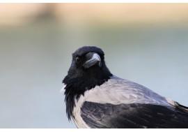 Ворона анфас