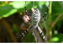 Полосатый паук