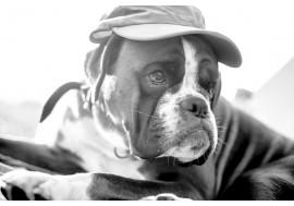 Собака боксер в кепке